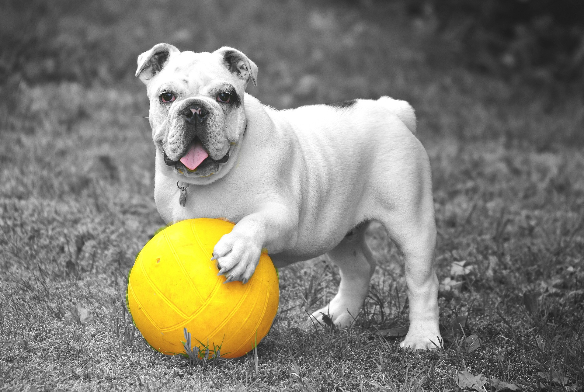 כלב משחק עם כדור צהוב