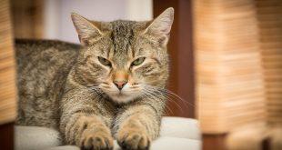 חתול מדגמן