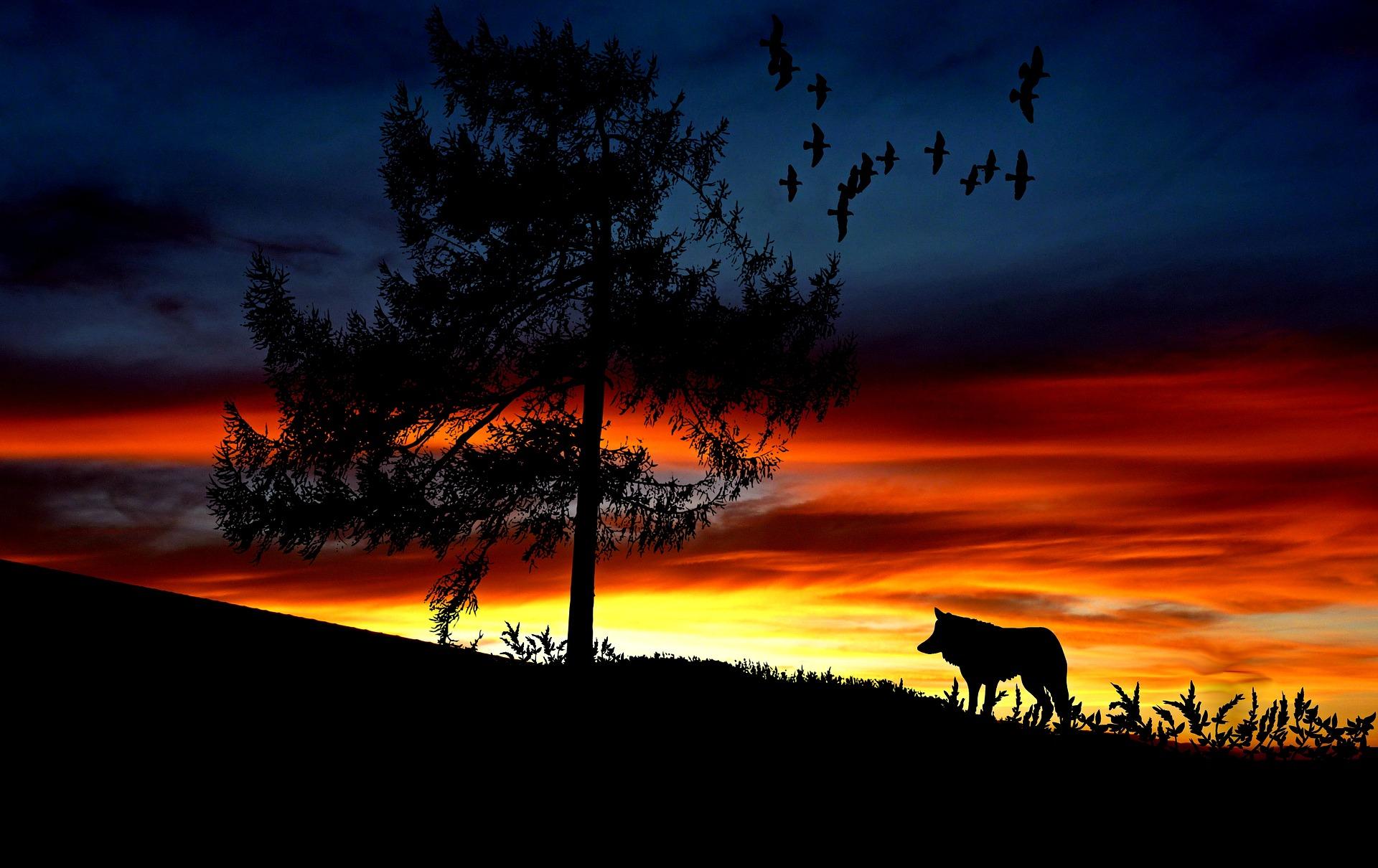 זאב עומד בשקיעה
