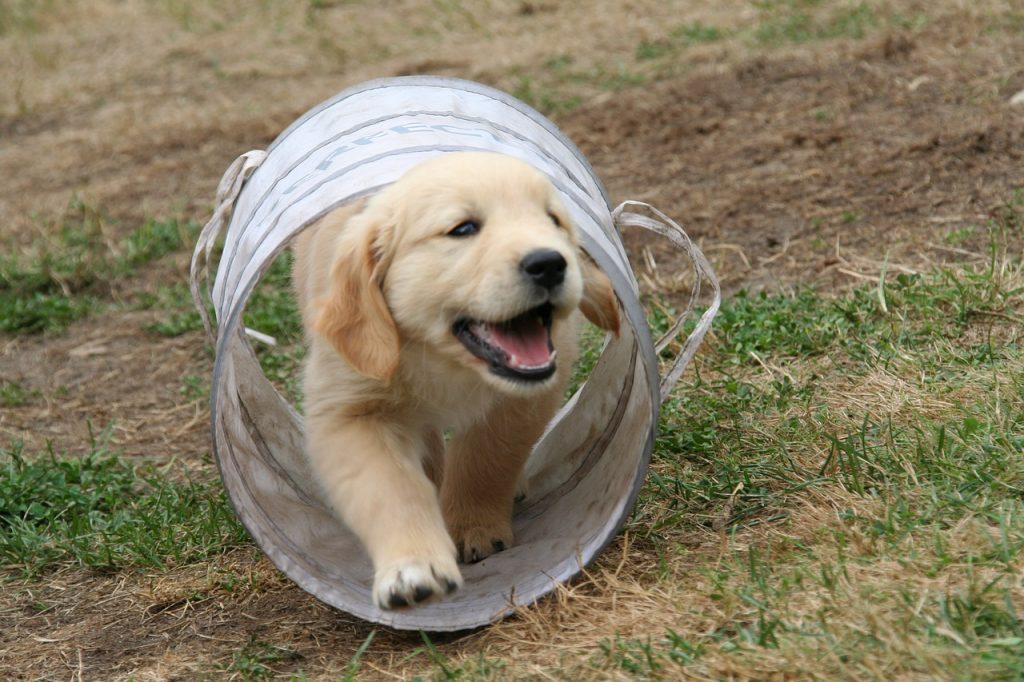 גור כלבים משחק
