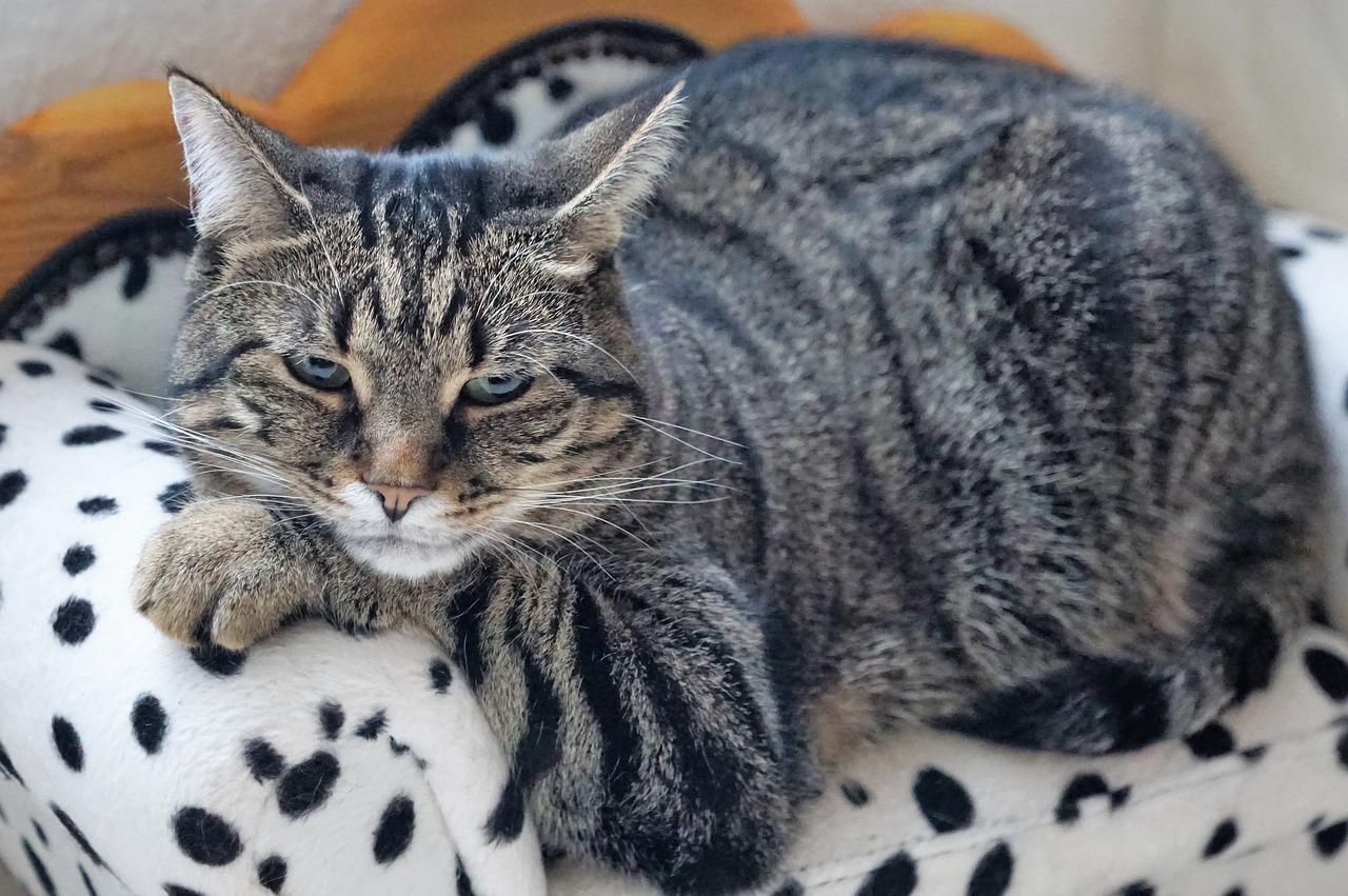 עודף משקל בחתולים
