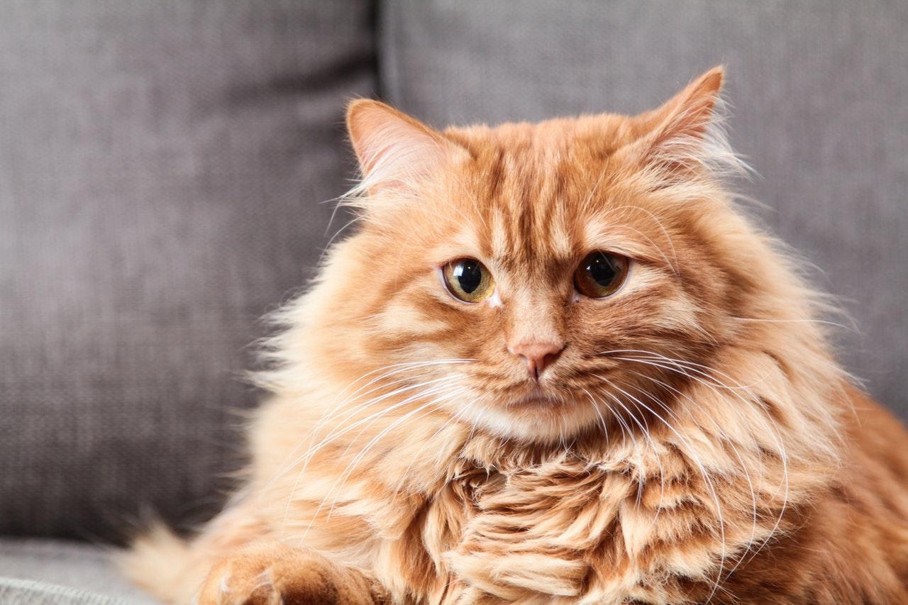 מניעת השמנה בחתולים