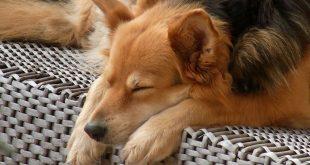 כלב חולם