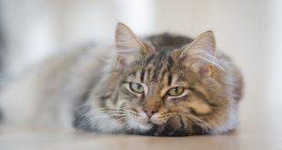 חסימת שתן בחתולים