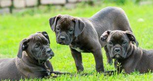 גורי כלבים