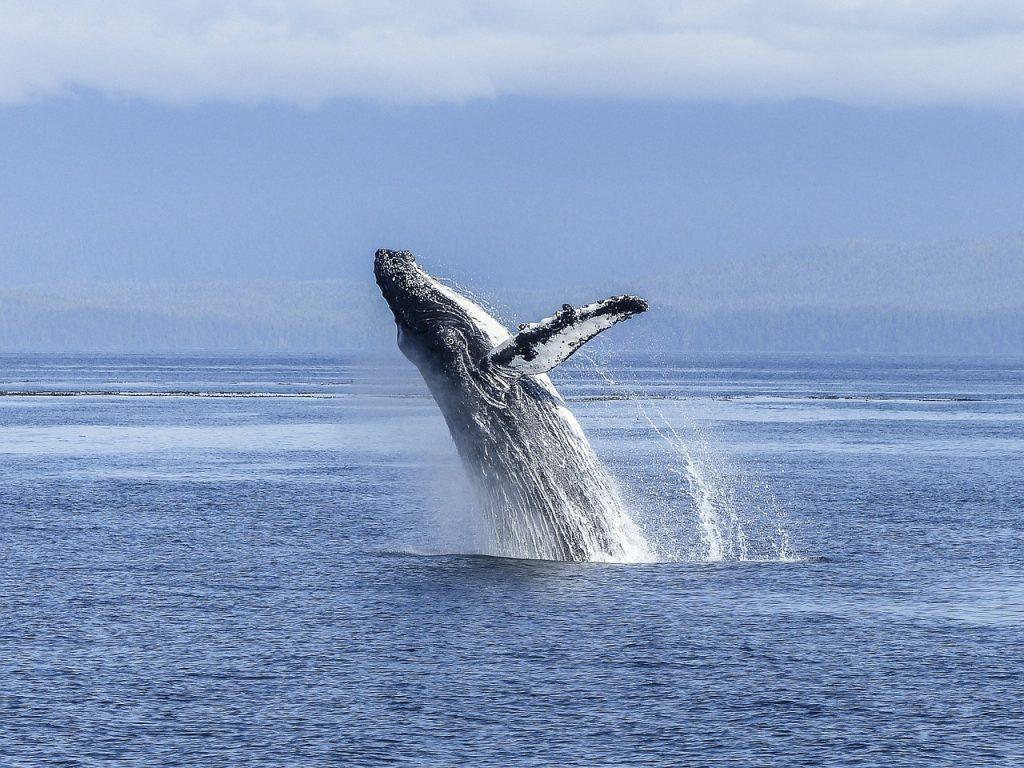 לווייתן גדול סנפיר