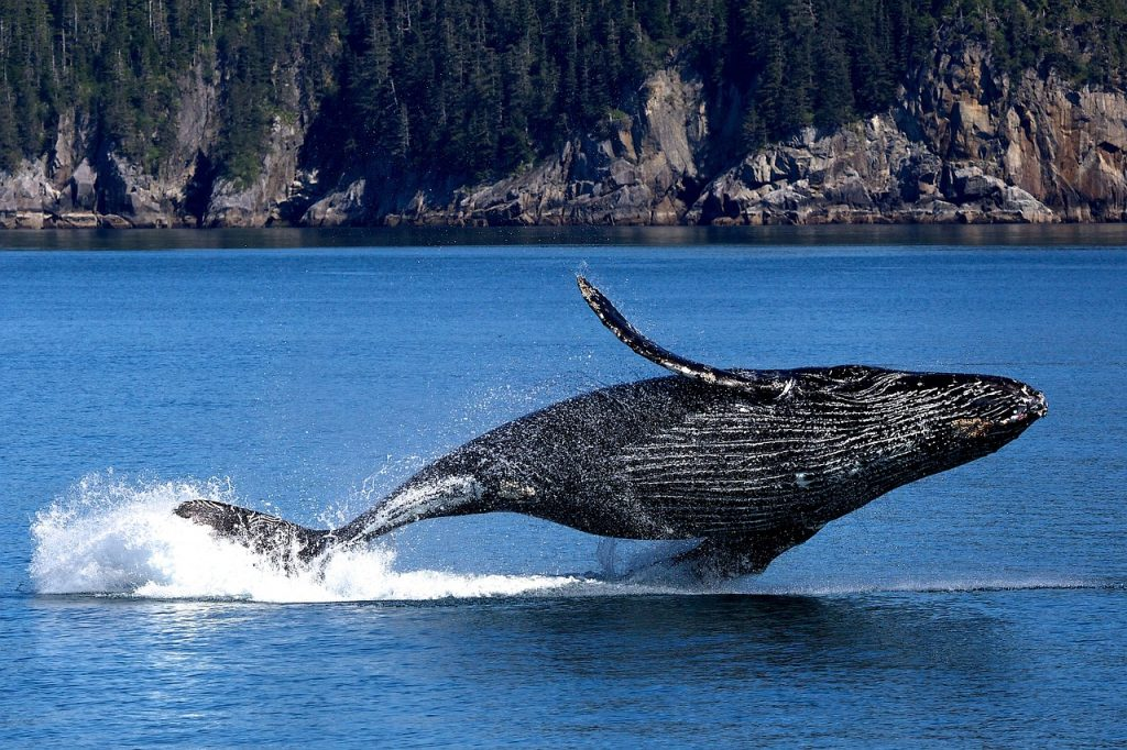 לווייתן אפור
