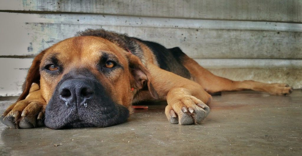 אוכל ייעודי לכלבים הסובלים מבעיות שונות